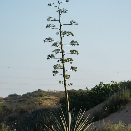 צמח האגבה (מקרוב משפחה שלו מכינים את הטקילה)
