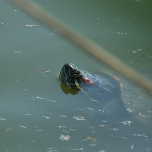 צב שוחה בנחל