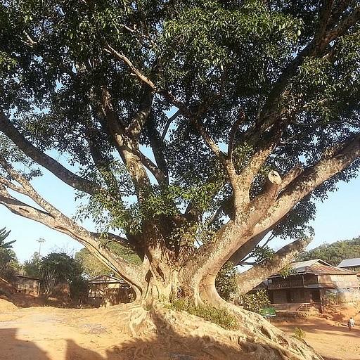 עץ בניאן עתיק בטרק