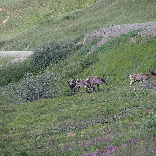 עדר אייל צפוני (elk), אפשר לזהות שהם מחליפים פרווה וגם יש קולר GPS על אחד מהם