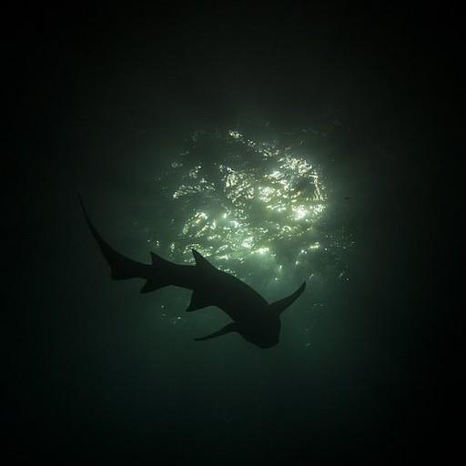 Nurse shark בצלילת הלילה