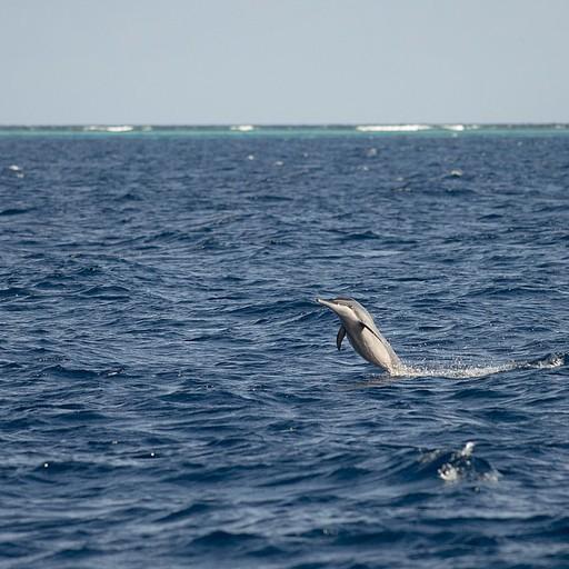 להקות ענקיות של דולפינים מסוג ספינר, ליוו אותנו במהלך השיי