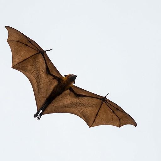 עטלף פירות