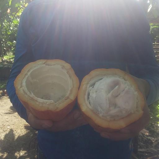חוות הקקאו של מיינור