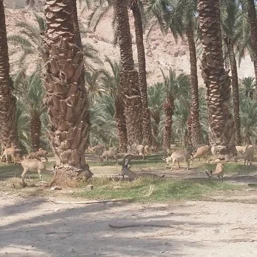יעלים בכניסה לאתר העתיקות