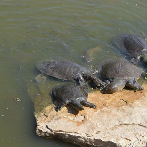 צבים רכים וצב ביצה מצוי (הקטן במרכז)