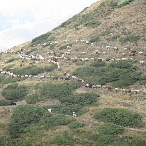 עדר כבשים בשלב של הירידה