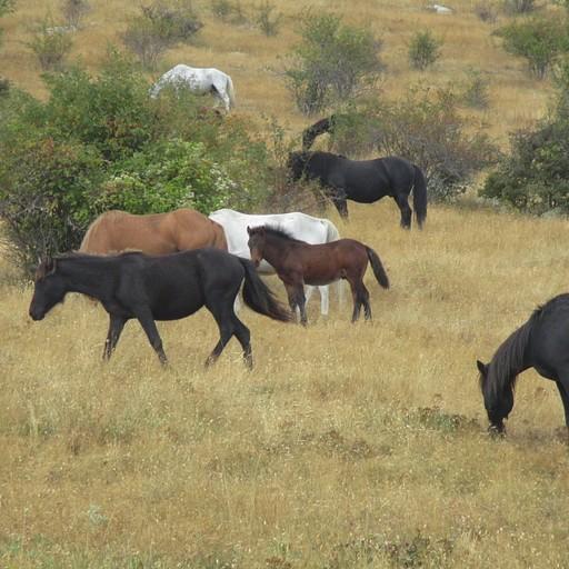 עדר הסוסים ליד רבנץ רוזי.
