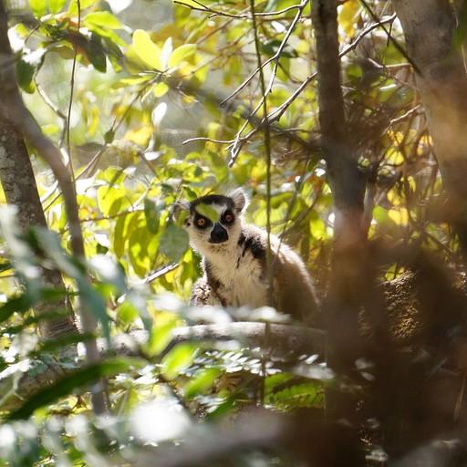 Ring-tailed lemur ליד אחת הבריכות באיסאלו