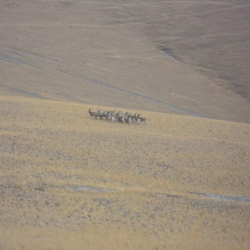 עדר של יעלים (Ibexes)