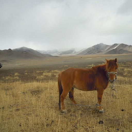 סוס מונגולי - קטן וחזק