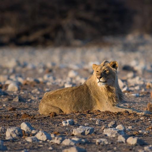 אריה צעיר בזריחה