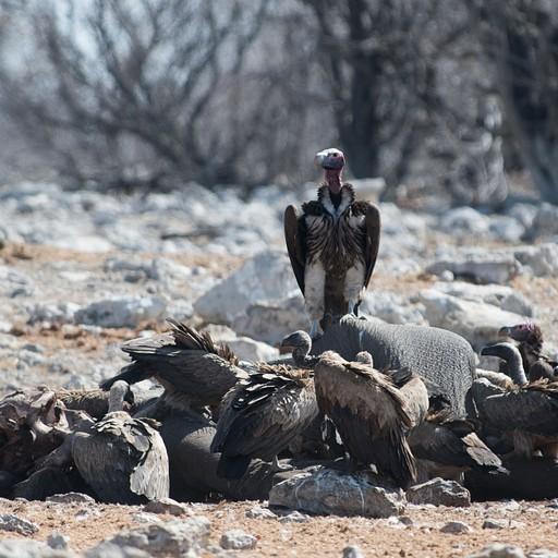 אזניה ונשרים על פגר של פיל