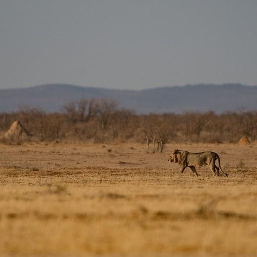 אריה ותילי טרמיטים ברקע