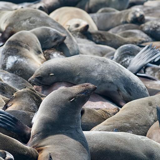 כלבי הים ב- Cape cross