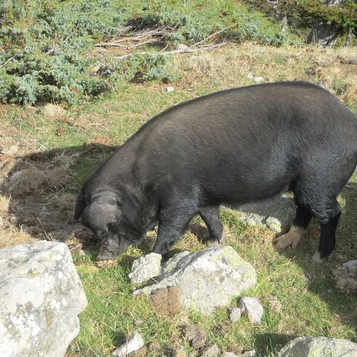 חזיר חופשי, ישנם הרבה כאלו לאורך הדרך