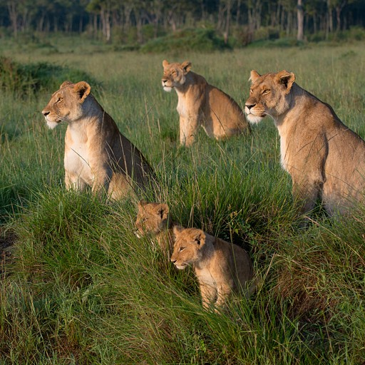 משפחת האריות שפגשנו אחרי 15 דק נסיעה בשמורה!