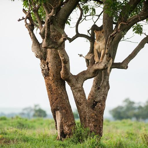 לביאה נחה על עץ