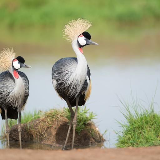 עגור כתר לבן-לחיים. ציפור יפה ומאוד נפוצה כאן באזור. נצפית בזוגות בד״כ.