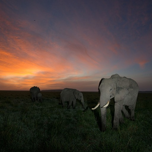 משפחת פילים בזריחה
