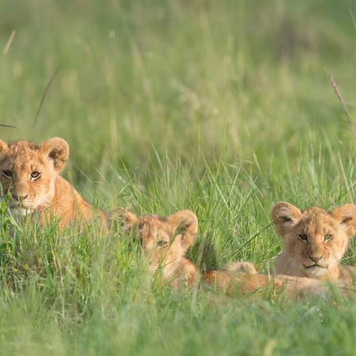 גורי האריות מהיום הראשון, כמה קילומטרים צפונית לנקודה שראינו אותם אז