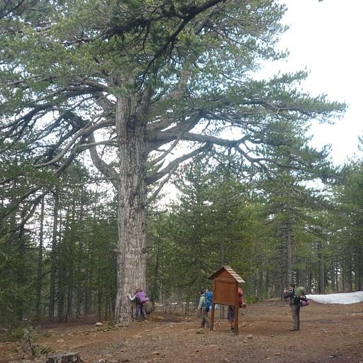 עץ אורן בן יותר מ-1000 שנה!!