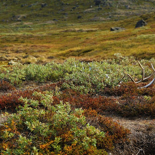 לאורך השביל רואים הרבה מאוד קרניים שאיילי צפון השילו - לרוב נמצאים לצד רוג'ומים, כסימוני שביל