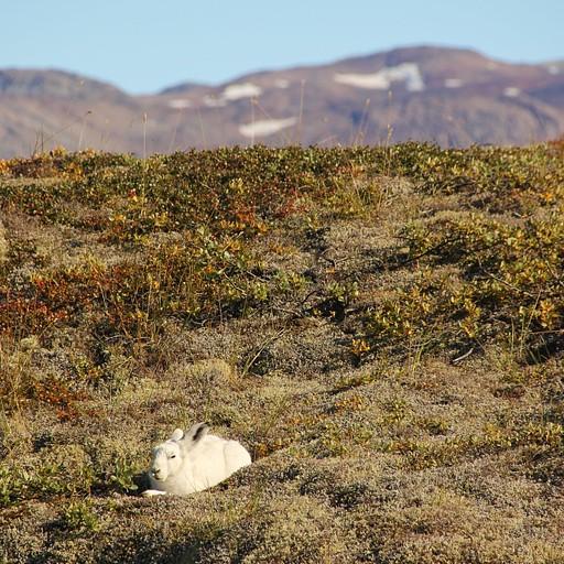 ארנבת ארקטית