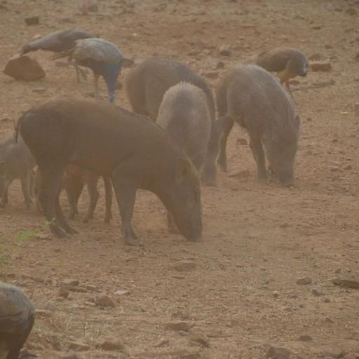 להקת חזירי בר
