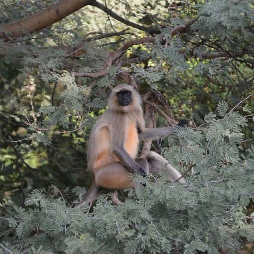 קוף לנגור