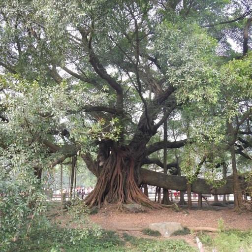 עץ הבניאן העתיק