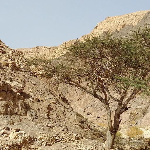 עץ שיטה בנחל נטפים