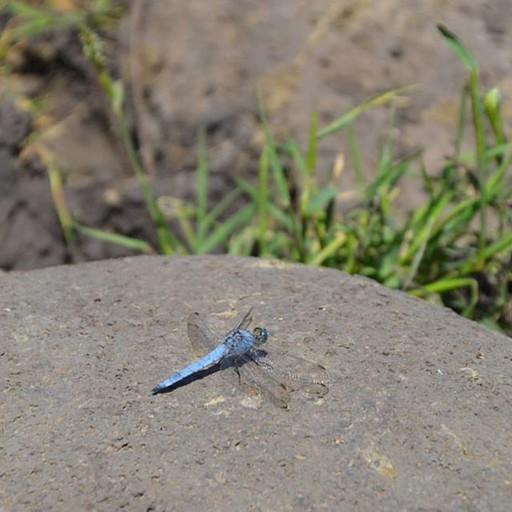 שפירית כחולה