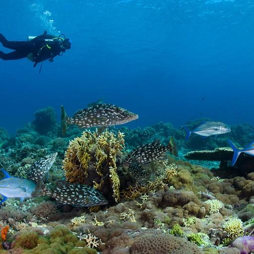 דגי Emperor בצבעי הסוואה ו- Bluefin Trevally