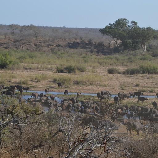 עדר הבופאלו בנהר