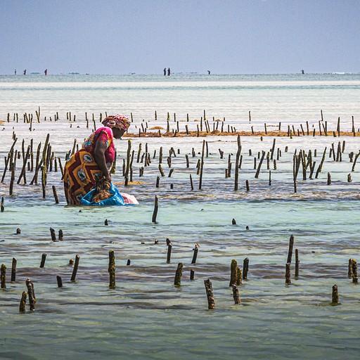 נשים מקומיות עסוקות באיסוף אצות