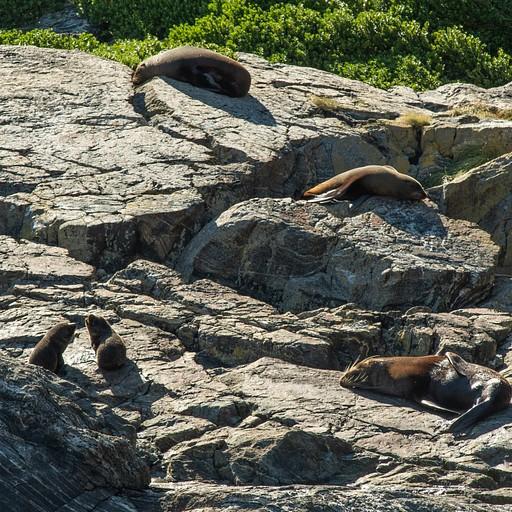 כלבי ים משתזפים על הסלעים בדרך
