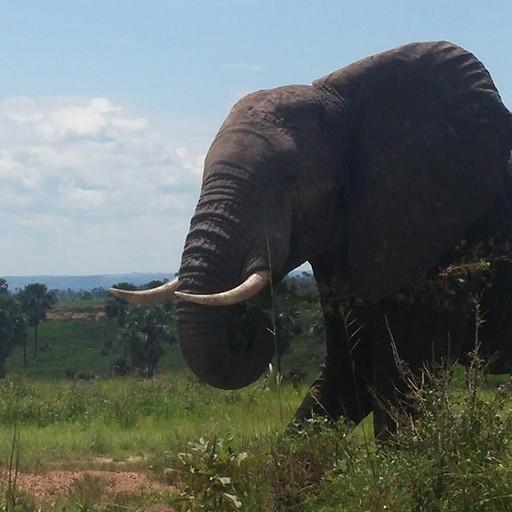 פיל בשמורה