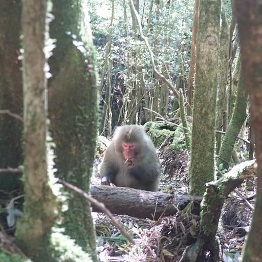 קוף בשיראטאני