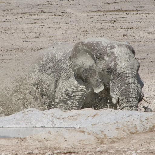 פיל עושה אמבטיית בוץ
