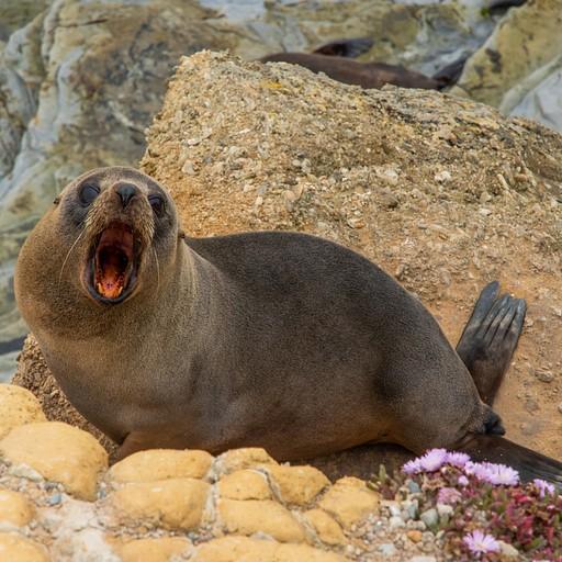כלב ים מפהק בshag point