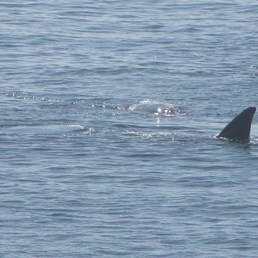 סנפיר של לוויתן