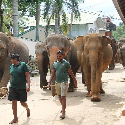 הפילים ברחוב כשיורדים לנהר פעמיים ביום