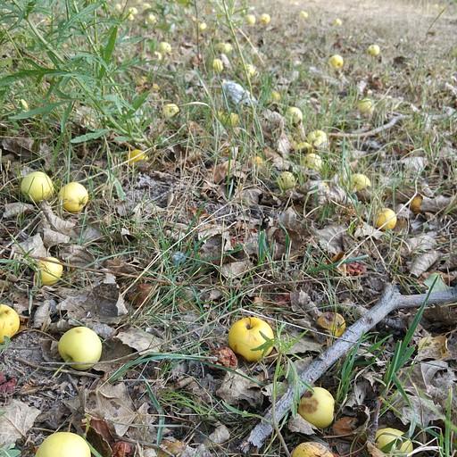 בקירגיזסטאן עצי תפוח גדלים באופן פראי בצידי הדרכים.