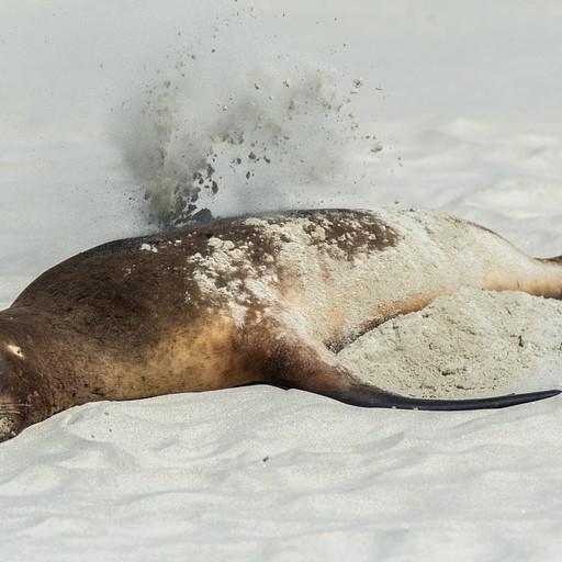 כלב ים מתכסה בחול בחוף הסנדפליי