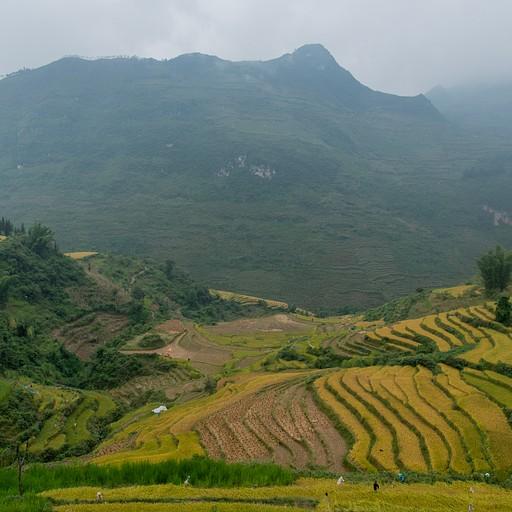 שדות אורז בלופ
