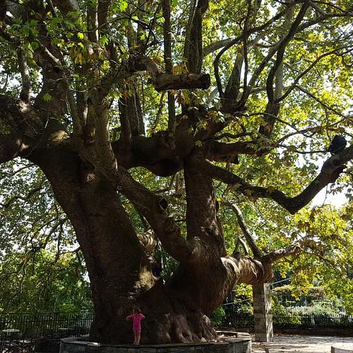 עץ הדולב הענק בTsagarda