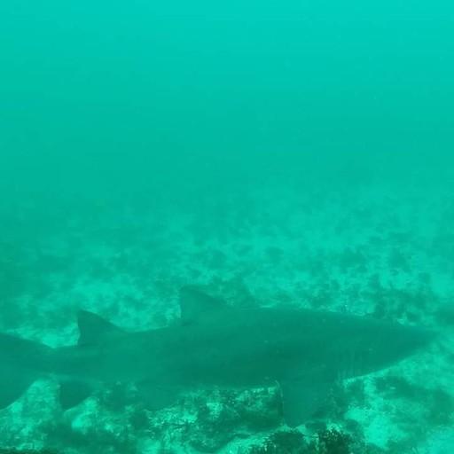 כריש חול נמרי