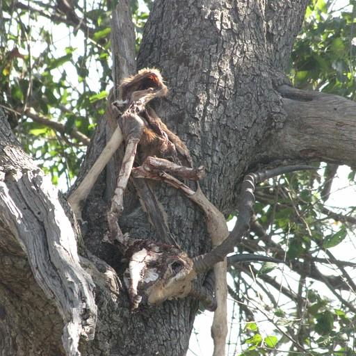 שלד של אנטילופה שצ'יטה גררה לעץ כדי לאכול
