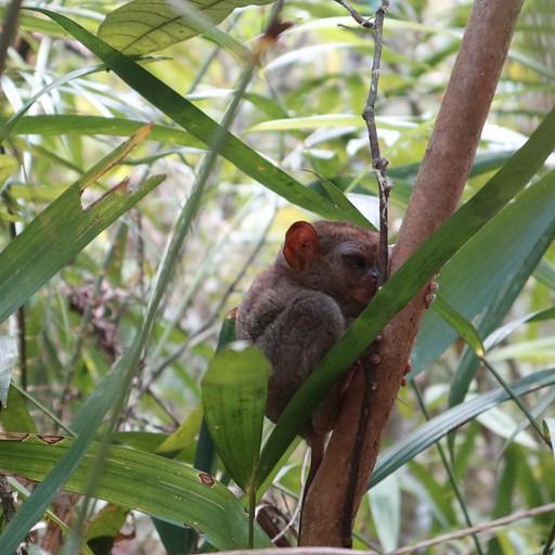 הקוף הקטן בעולם, ישנים ביום